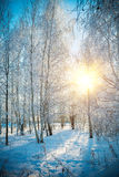Floresta do vidoeiro no inverno imagem de stock royalty free