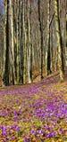 Floresta dos açafrões na primavera Imagens de Stock Royalty Free