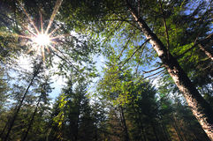 Floresta dos feixes de Sun da manhã na primavera Imagem de Stock Royalty Free
