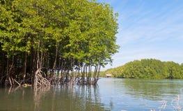 Floresta dos manguezais Imagens de Stock