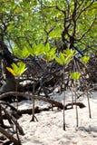 Floresta dos manguezais Foto de Stock Royalty Free