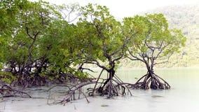 Floresta dos manguezais Imagens de Stock Royalty Free