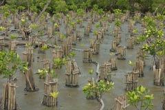 Floresta dos manguezais Imagem de Stock Royalty Free