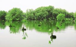 Floresta dos manguezais Fotografia de Stock
