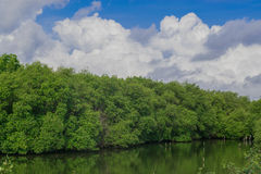 A floresta dos manguezais Fotografia de Stock Royalty Free