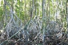 Floresta dos manguezais em Tailândia fotografia de stock royalty free