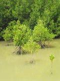 Floresta dos manguezais em Tailândia Fotos de Stock