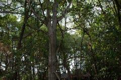 Floresta dos manguezais em Tailândia Fotos de Stock Royalty Free