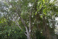 Floresta dos manguezais em Tailândia Imagens de Stock Royalty Free