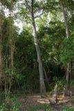 Floresta dos manguezais em Tailândia Imagens de Stock
