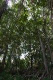 Floresta dos manguezais em Tailândia Foto de Stock