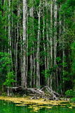 Floresta dos manguezais, Krabi, Tailândia Imagem de Stock