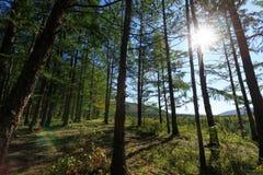 Floresta dos pinheiros Fotos de Stock