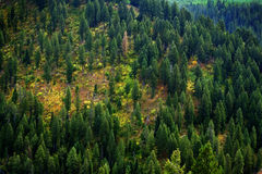 Floresta dos pinheiros na paisagem das montanhas da região selvagem Imagem de Stock Royalty Free
