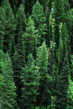 Floresta dos pinheiros na paisagem das montanhas da região selvagem Imagens de Stock Royalty Free
