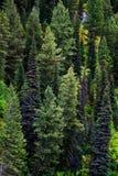 Floresta dos pinheiros na paisagem das montanhas da região selvagem Fotos de Stock