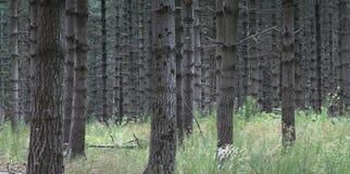 Floresta dos pinhos Imagens de Stock Royalty Free