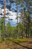 Floresta dos pinhos Imagem de Stock Royalty Free