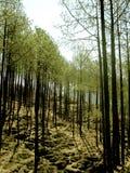 Floresta dos pinhos Foto de Stock