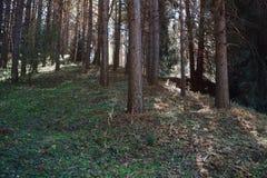 Floresta dos pinhos em Califórnia, EUA imagem de stock royalty free
