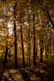 Floresta dourada foto de stock