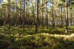 Floresta e charneca fotografia de stock royalty free