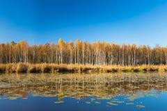 A floresta e a lagoa bonitas do vidoeiro no outono temperam fotos de stock