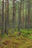 Floresta e musgo do pinho da mola Fotos de Stock Royalty Free