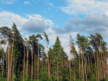 Floresta e nuvens do pinho em um dia claro Imagens de Stock Royalty Free
