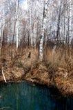Floresta e pântano do vidoeiro Imagem de Stock