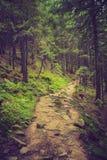 Floresta e trajeto densos da montanha entre as raizes das árvores Foto de Stock