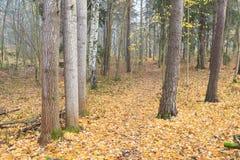 Floresta e trajeto do outono no dia nevoento Foto de Stock