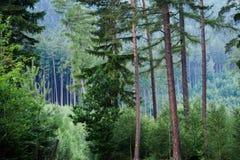 Floresta em Adrspach, CZ Imagem de Stock Royalty Free
