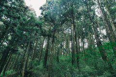 Floresta em Alishan Formosa, taichung fotos de stock royalty free