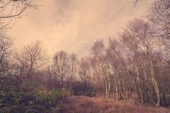 Floresta em Dinamarca com árvores de vidoeiro fotografia de stock royalty free