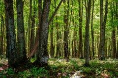 Floresta em Michigan Imagens de Stock