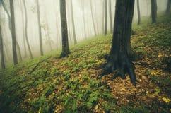 Floresta encantado com névoa no atumn Fotografia de Stock