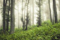 Floresta encantado do verde com névoa Fotografia de Stock Royalty Free