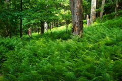 Floresta Enchanted imagem de stock