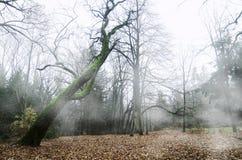 Floresta enevoada Fotografia de Stock