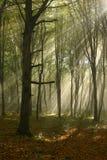Floresta enevoada Fotos de Stock Royalty Free