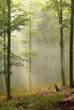 Floresta enevoada com raias do sol do amanhecer Imagens de Stock