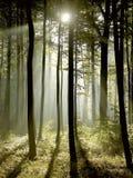 Floresta enevoada com raias do sol do amanhecer Imagem de Stock