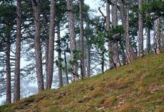 Floresta enevoada do pinho do verão no monte Imagens de Stock