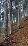 Floresta enevoada do pinho do verão no monte Imagem de Stock Royalty Free