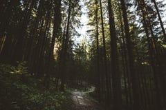 A floresta enevoada e muitas árvores verticais na noite iluminam-se Fotos de Stock