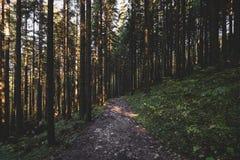 A floresta enevoada e muitas árvores verticais na noite iluminam-se Fotografia de Stock