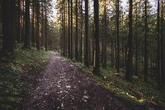 A floresta enevoada e muitas árvores verticais na noite iluminam-se Imagem de Stock Royalty Free