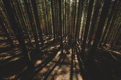 A floresta enevoada e muitas árvores verticais na noite iluminam-se Fotos de Stock Royalty Free