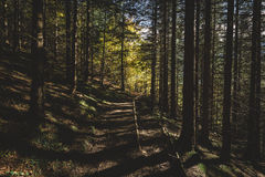 A floresta enevoada e muitas árvores verticais na noite iluminam-se Imagens de Stock Royalty Free
